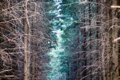allee entre les pins