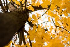 arbrejauneweb