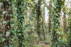 arbres de lierre